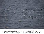 black browed albatross  drake... | Shutterstock . vector #1034822227