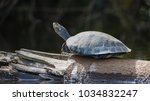turtle on the branch...   Shutterstock . vector #1034832247