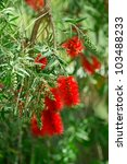 Red Bottlebrush Flowers In Bloom