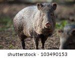 collared peccary | Shutterstock . vector #103490153