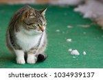 a feline cat outside sitting on ... | Shutterstock . vector #1034939137