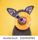 cute little chihuahua licking... | Shutterstock . vector #1034969983