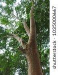 Small photo of sengon trees or Albizia chinensis