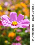 colorful cosmos flower blooming ... | Shutterstock . vector #1035034867