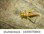 Small photo of Image of a cricket (Trigonidiidae, Tettigoniidae) on the rocks. Insect. Animal.