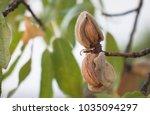 ripe almonds on the tree branch   Shutterstock . vector #1035094297