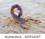 aggressive scorpion  parabuthus ... | Shutterstock . vector #103516247