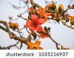 branch of blossoming bombax... | Shutterstock . vector #1035216937