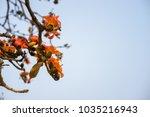 branch of blossoming bombax... | Shutterstock . vector #1035216943