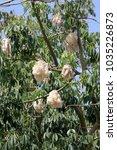 ceiba pentandra plant and seed... | Shutterstock . vector #1035226873