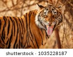 royal bengal tiger flaming on a ... | Shutterstock . vector #1035228187