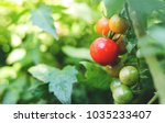 fresh ripe red tomatoes and the ... | Shutterstock . vector #1035233407