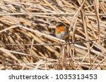 robin bird erithacus rubecula   ... | Shutterstock . vector #1035313453