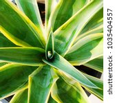 closeup center of agave plant....   Shutterstock . vector #1035404557