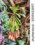 nepenthes. little predatory... | Shutterstock . vector #1035422857