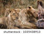 lion on a giraffe kill | Shutterstock . vector #1035438913