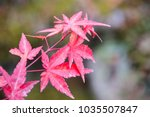 red japanese maples leaves in... | Shutterstock . vector #1035507847