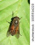 Small photo of Horse-flies, horseflies, Tabanidae