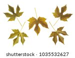 set dry leaf of chaya plants or ... | Shutterstock . vector #1035532627