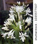 Small photo of White Agapanthus (African Lily) with bur background.