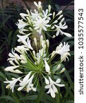 Small photo of White Agapanthus (African Lily)