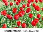 garden with tulip flowers in...   Shutterstock . vector #103567343