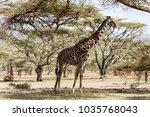 giraffe  giraffa   african even ...   Shutterstock . vector #1035768043