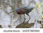 green heron hunting | Shutterstock . vector #1035780583