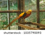 Golden Pheasant Walking In The...