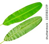 Green fresh banana leaf isolated with clipping path. - stock photo