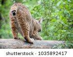 eurasian lynx  lynx lynx  is a...   Shutterstock . vector #1035892417