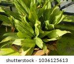 dieffenbachia. green leaves....   Shutterstock . vector #1036125613