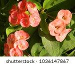 euphorbia milii plant. delicate ...   Shutterstock . vector #1036147867