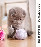 cat scottish fold. young player ... | Shutterstock . vector #1036208983