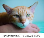 yellow cat isolation | Shutterstock . vector #1036214197
