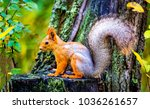 squirrel on tree stump in forest | Shutterstock . vector #1036261657