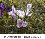 crocus  plural crocuses or... | Shutterstock . vector #1036326727