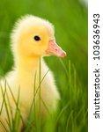 Cute Little Domestic Gosling I...