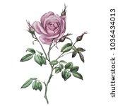 pink rose. botanical...   Shutterstock . vector #1036434013