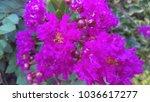 pink crape myrtle tree | Shutterstock . vector #1036617277