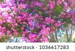 pink crape myrtle tree | Shutterstock . vector #1036617283