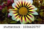 african daisy flowers | Shutterstock . vector #1036620757