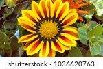 african daisy flowers | Shutterstock . vector #1036620763