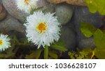 shasta daisy flowers | Shutterstock . vector #1036628107