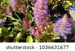 purple sikkitassu flowers | Shutterstock . vector #1036631677