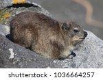 rock dassie resting   Shutterstock . vector #1036664257