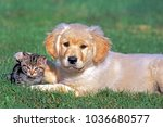 Stock photo golden retriever puppy and tabby kitten together on grass 1036680577