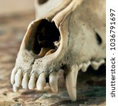 Small photo of Dog scull without lower jaw on shabby wooden surface close up