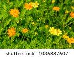 'cosmos'  mexican aster    a... | Shutterstock . vector #1036887607
