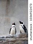 Small photo of A pair of African Penguin (Spheniscus demersus)